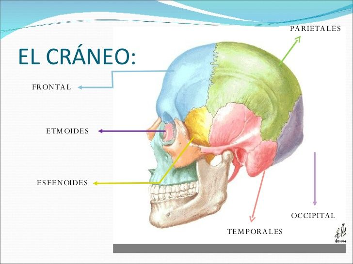 Excelente Esfenoides Adorno - Anatomía de Las Imágenesdel Cuerpo ...