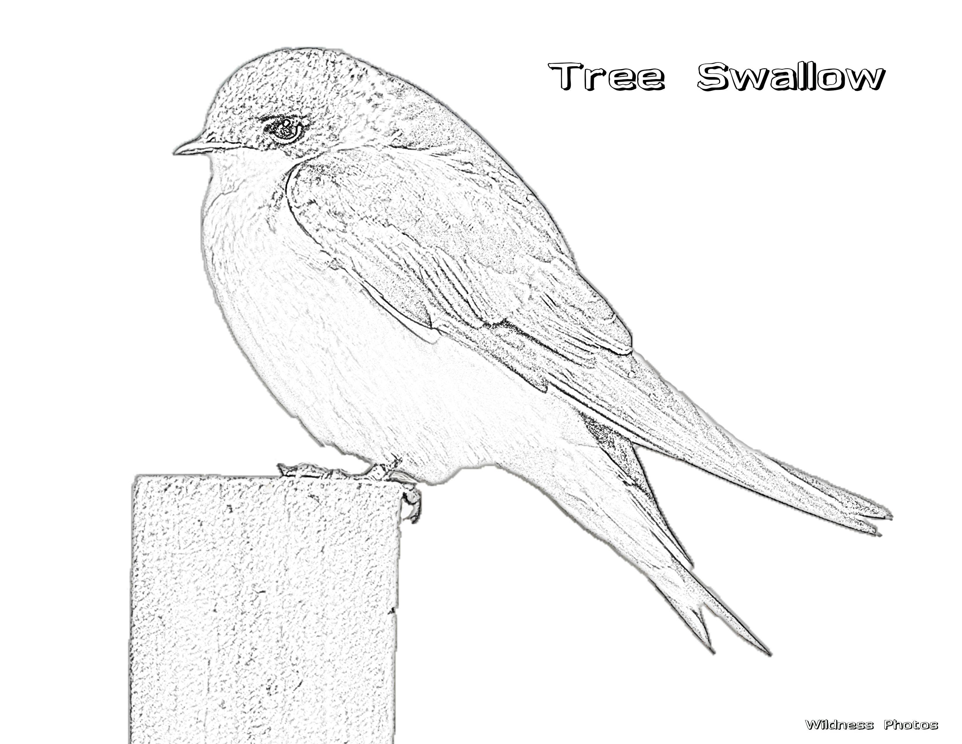 Male Tree Swallow 1