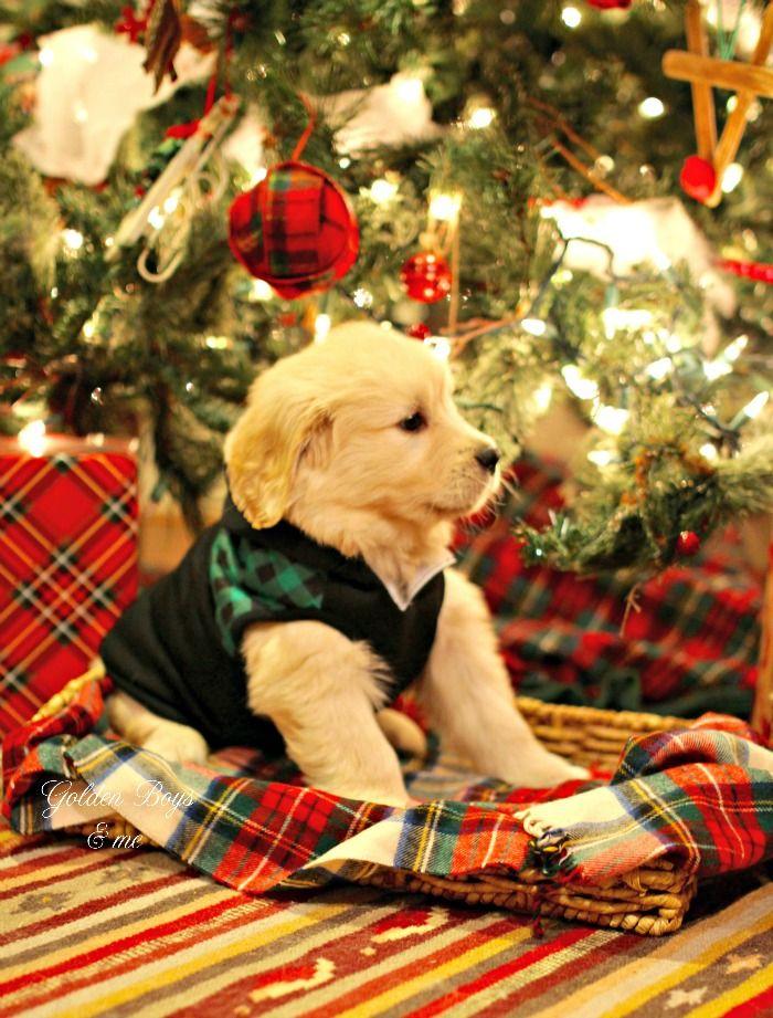 A Very Special Christmas Present Christmas Puppy Retriever