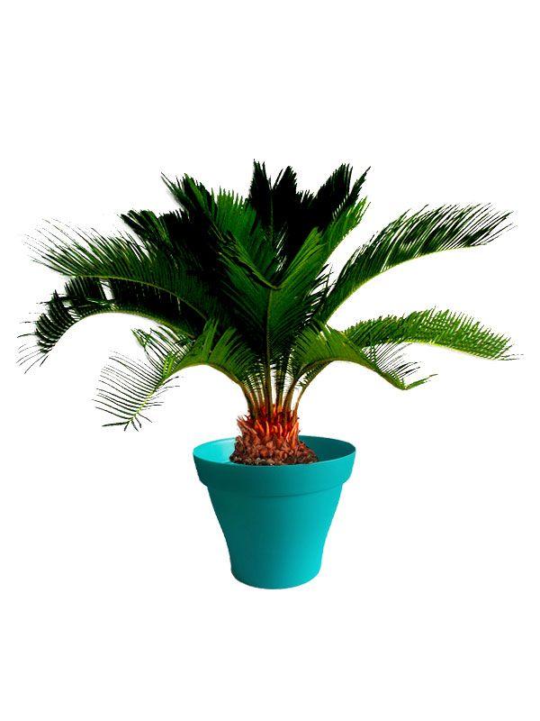 Cycas avec cache pot turquoise | Plantes d\'intérieur avec pots ...