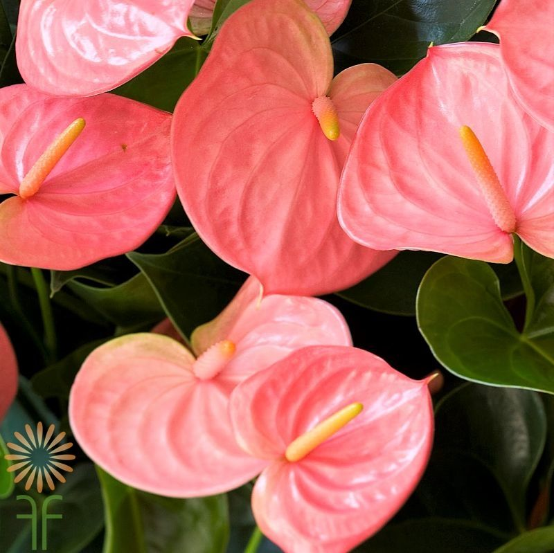 Mini Pink Anthurium Wholesale Flowers Diy Wedding Flowers Wholesale Flowers Anthurium Flower Anthurium