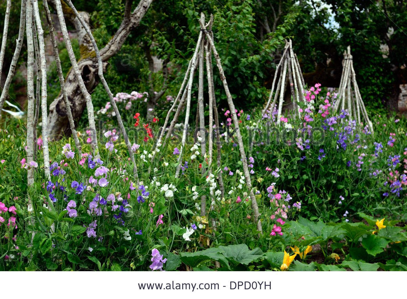 Lathyrus Sweet Peas Pea Grow Growing Up Wigwam Plant Supports