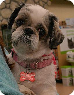 Northville Mi Shih Tzu Mix Meet Elbie A Dog For Adoption Dog Adoption Shih Tzu Shih Tzu Mix