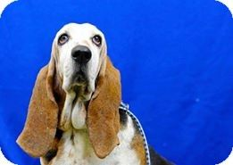Acton Ca Basset Hound Meet Tinkerbelle A Dog For Adoption