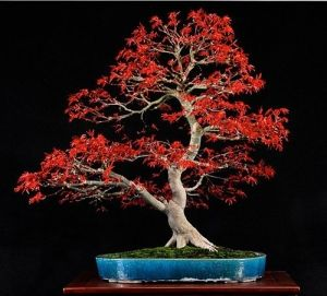 Japanese Red Maple Bonsai Japanese Bonsai Tree Bonsai Tree Care Maple Bonsai