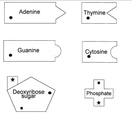 Models dna and dna model on pinterest education pinterest math worksheets ccuart Image collections
