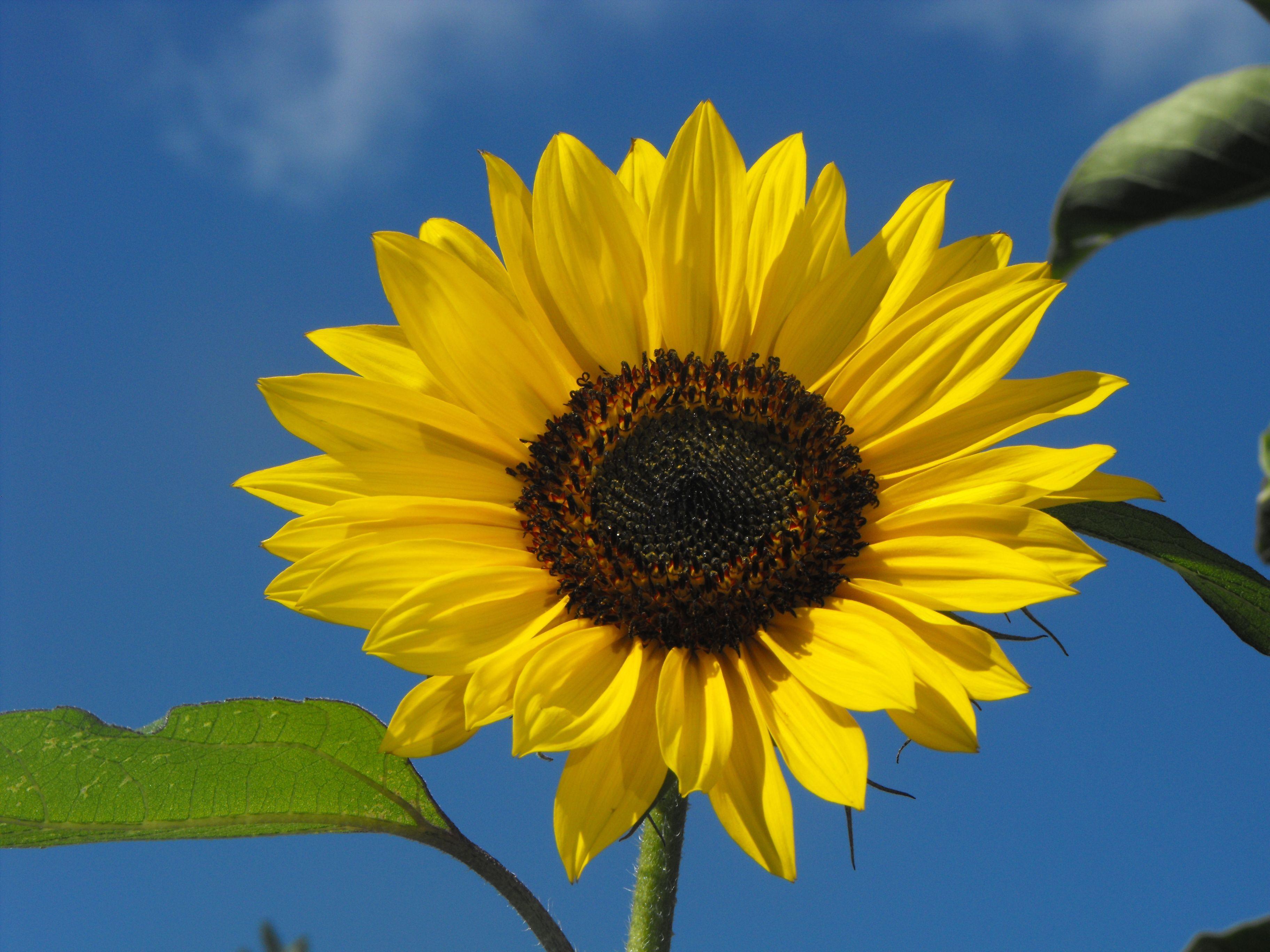 Gambar Bunga Matahari Yang Cantik Wallpaper Foto Dan Gambar Bunga Cantik Untuk Laptop Beautiful Wallpaper Foto Dan Gambar Bunga Di 2020 Bunga Matahari Bunga Gambar