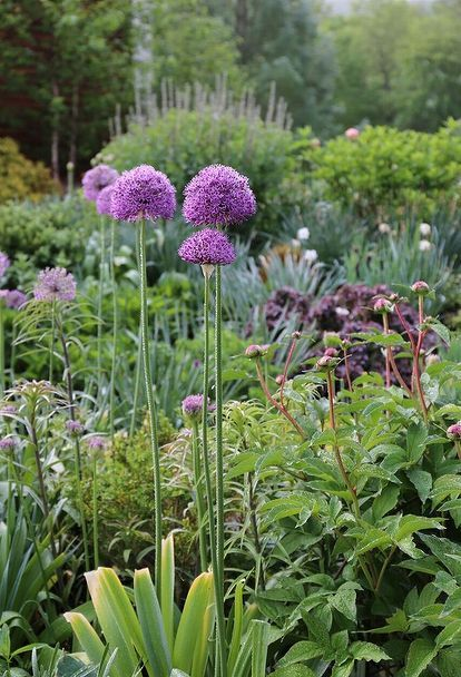 A Beginner S Guide To Alliums Met Afbeeldingen Tuin
