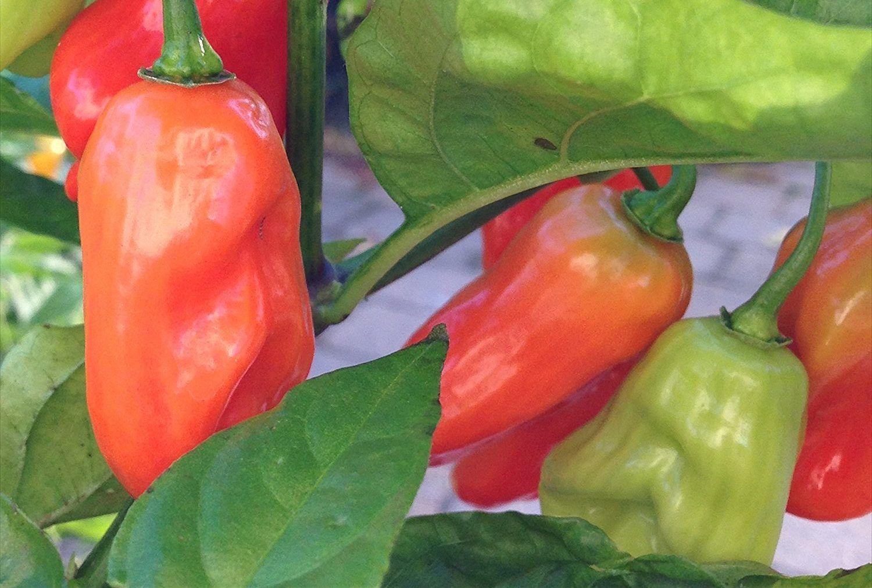 Hinkelhatz Pepper: The Pennsylvania Dutch Pickler   Peppers