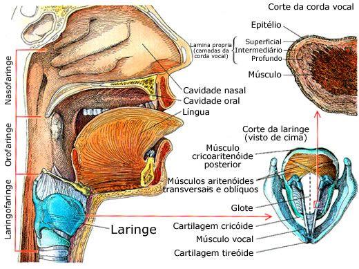 Laringe Anatomia Humana Infoescola | Medicina | Pinterest | Anatomía ...