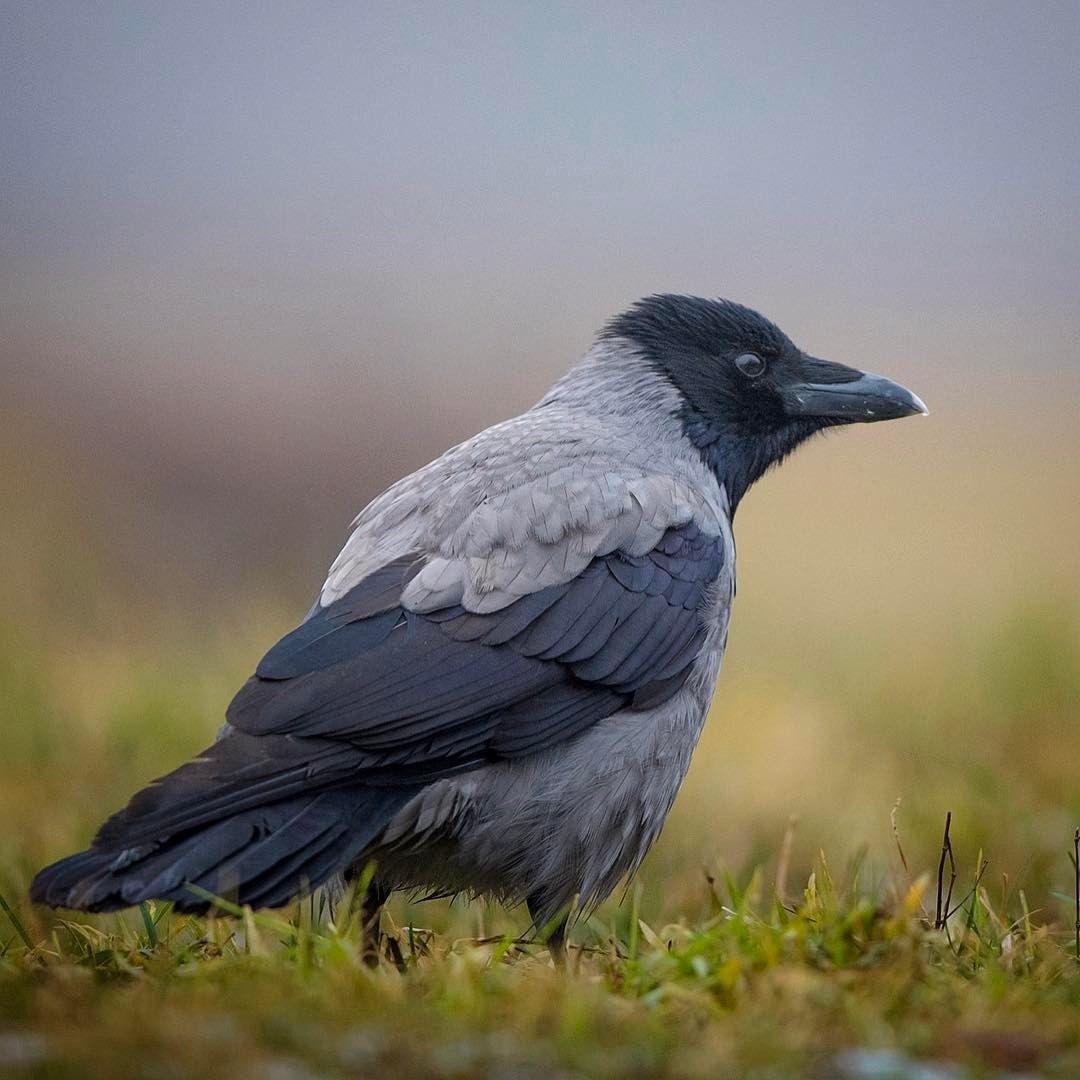 Yousif Theyab On Instagram Hooded Crow غراب مقنع Crow Jackdaw Passerine Bird