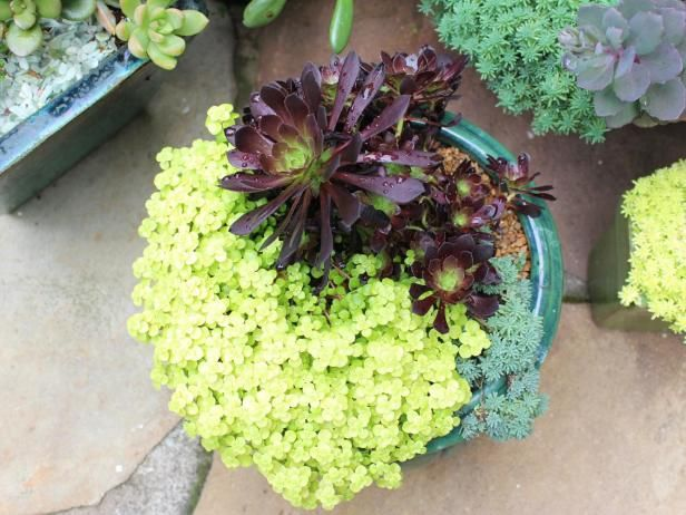 Chartreuse sedum and echeveria 'Black Prince' show the visual payoff in mixing dark and light plants in the same container.