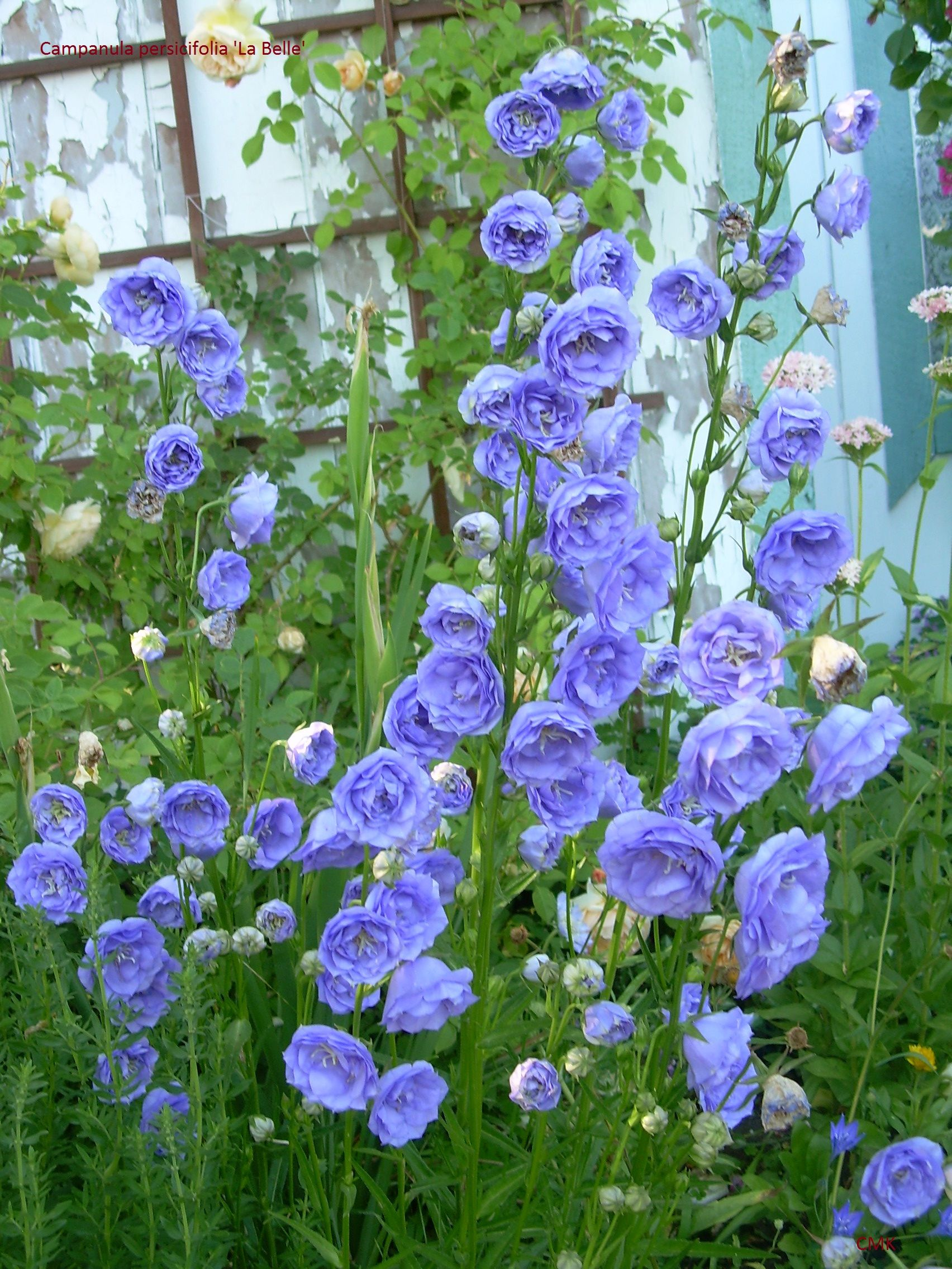 Love The Colour Of Sky And The Tender Fullness Of The Blossoms Campanula Persicifolia La Belle Early Spring Flowers Perennial Plants Spring Garden Flowers