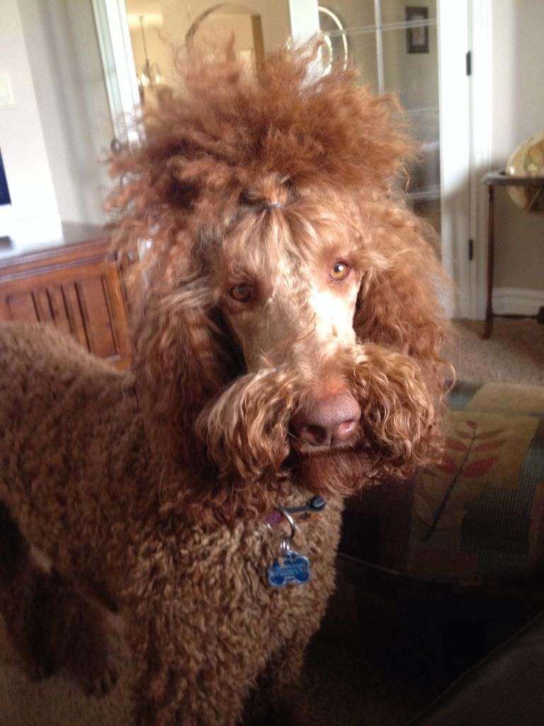 Red Standard Poodle With His Top Knot And Mustache Standard