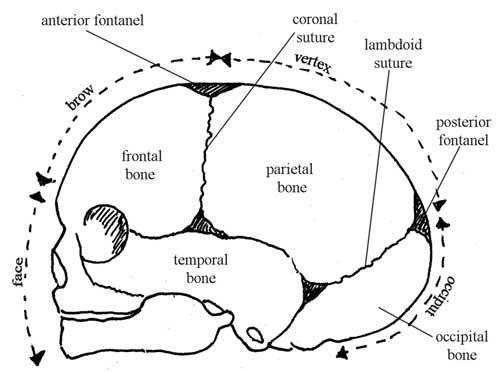 Bones of the fetal skull — side view facing left