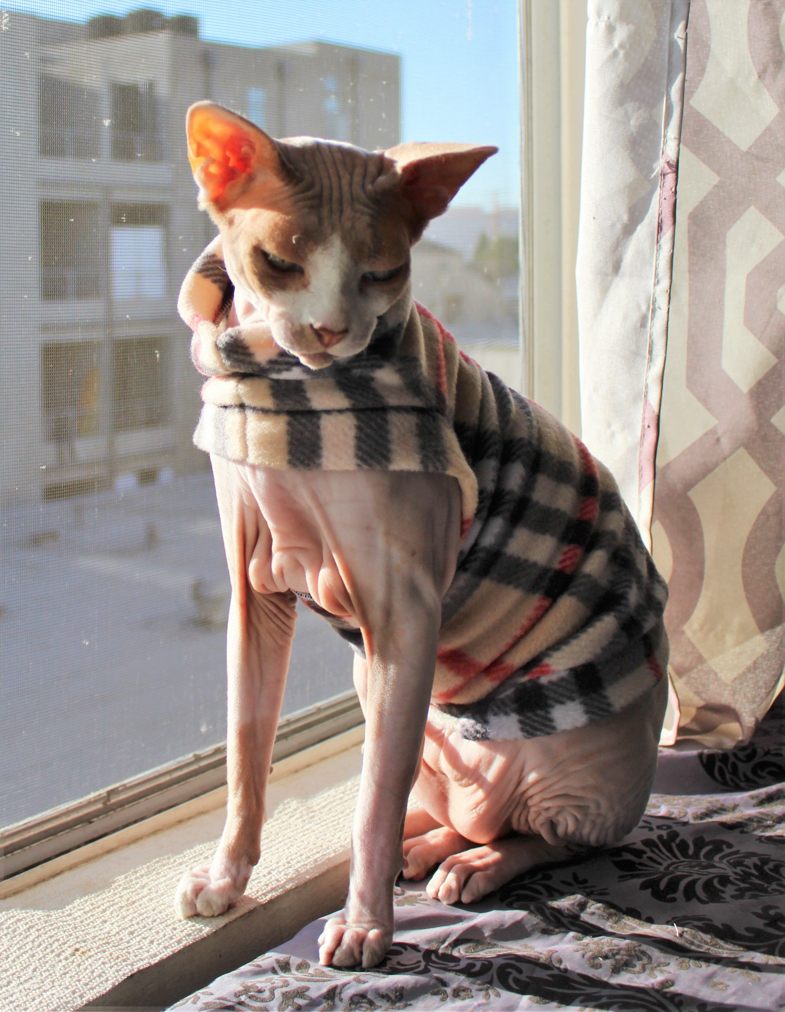 Purberry Of Los Angeles From Sphynx Swag Sphynx Cute Cats Crazy Cats