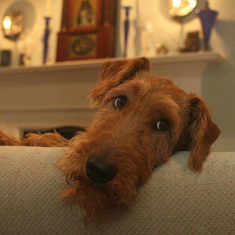 What Did You Say Irish Terrier Irish Dog Irish Red Setter