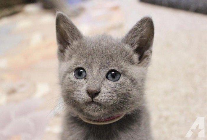 Healthy Two Russian Blue Kittens Russian Blue Kitten Blue Cats