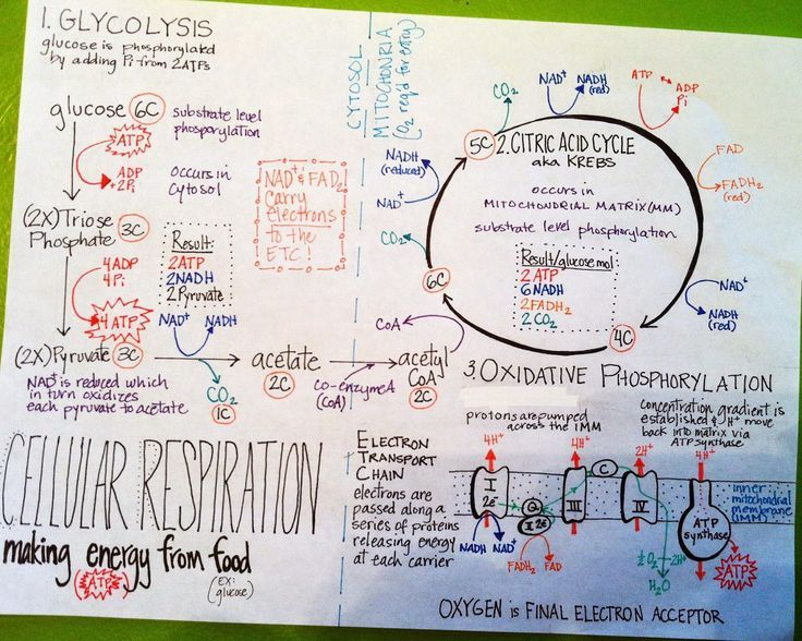 More Summary Sheets Cellular Respiration (With images