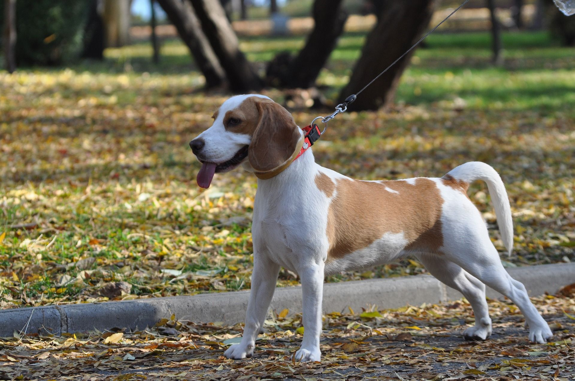 10 Fun Interesting Facts About Beagles Dog Breeds Police Dog