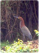 Ave Pantanal