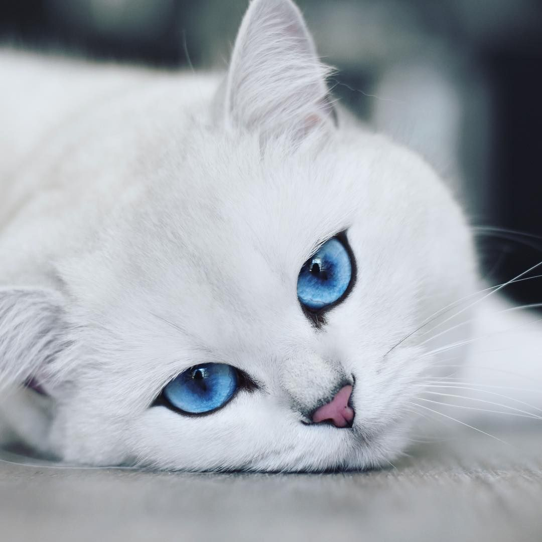 Feline Instagram Star Has the Most Mesmerizing Blue Eyes