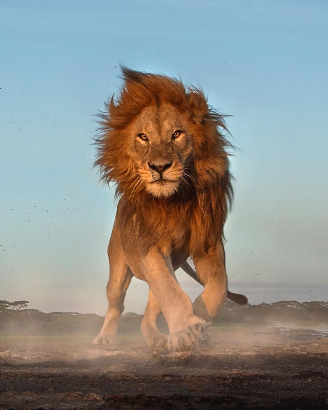 An Angry Lion In The Serengeti Natureisfuckinglit Lion Photography Scary Lion Lions
