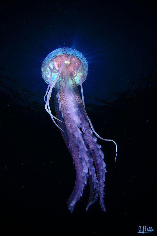 Purple Jellyfish In Cabo De Palos Murcia Facebook