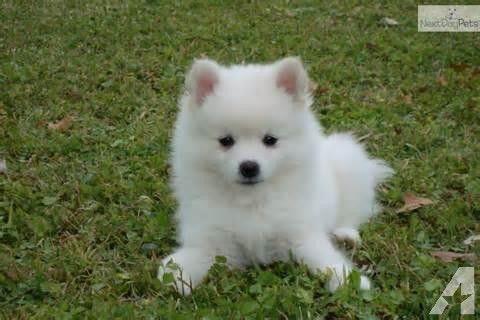 American Eskimo Puppy American Eskimo Puppy American Eskimo Dog