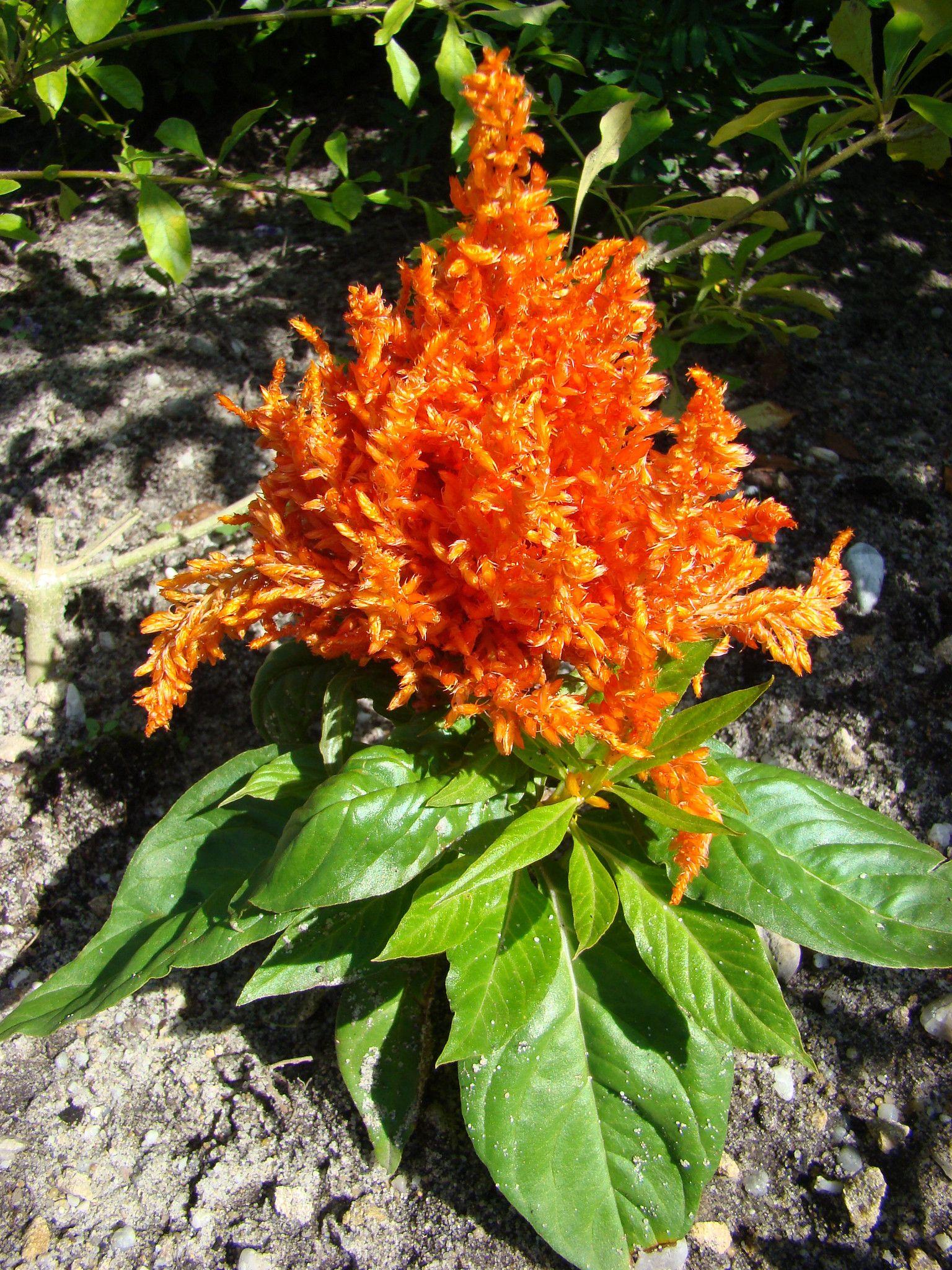 Jeune Astilbe Orange Vif Astilbe Plants Orange