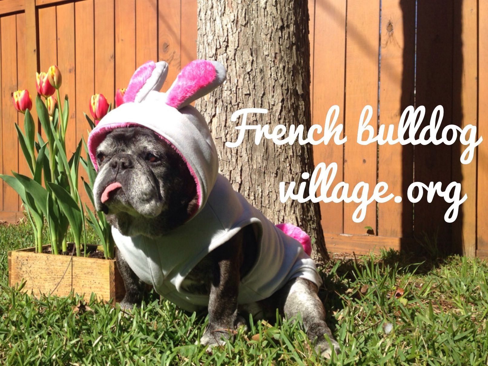 French Bulldog Village... rescue, rehabilitate and rehome