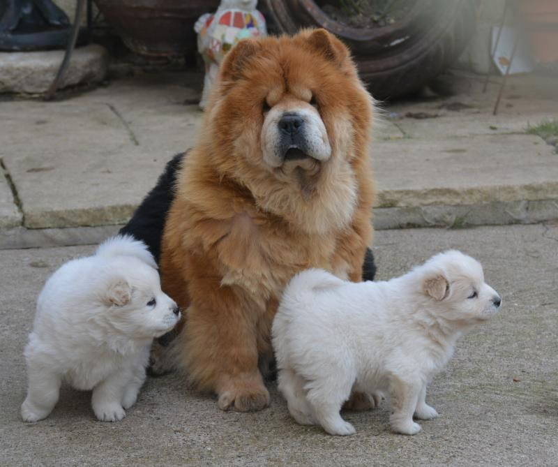 Friendly Chow Chow X Samoyed Boys And Girls Designer And Cross