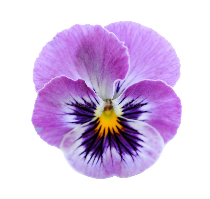Photo About Pansy Flower Isolated On White Background Image Of Nature Purple Bloom 32391253 Pansies Flowers Flower Painting Watercolor Flowers