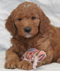 Goldendoodle Prices From Doodlepuppy Com Dba Sunshine Acres