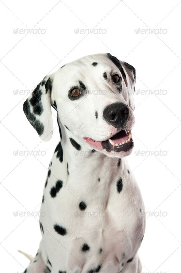 Dalmatian dog by viki2win Dalmatian dog portrait on white background