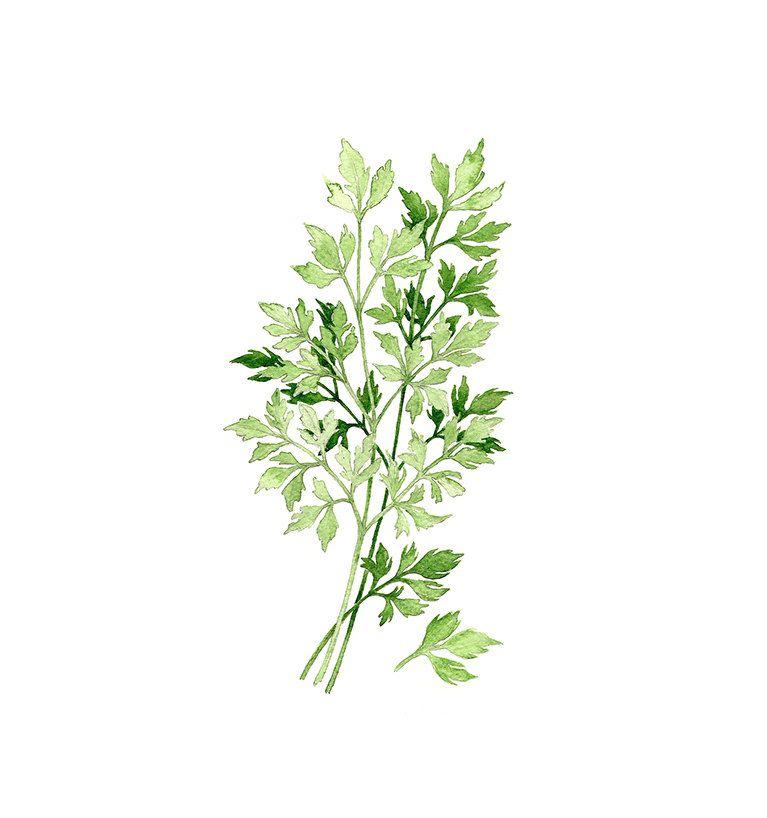 Parsley Illustration Parsley Botanical Prin...