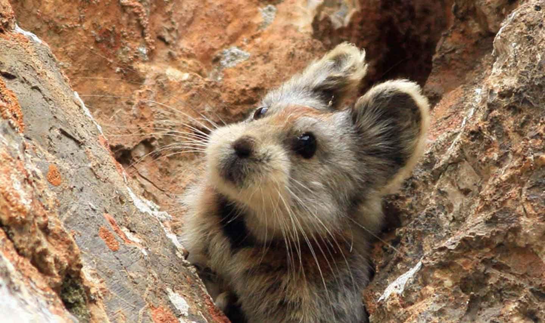 ili pika Cute animals, Animals, Rare animals