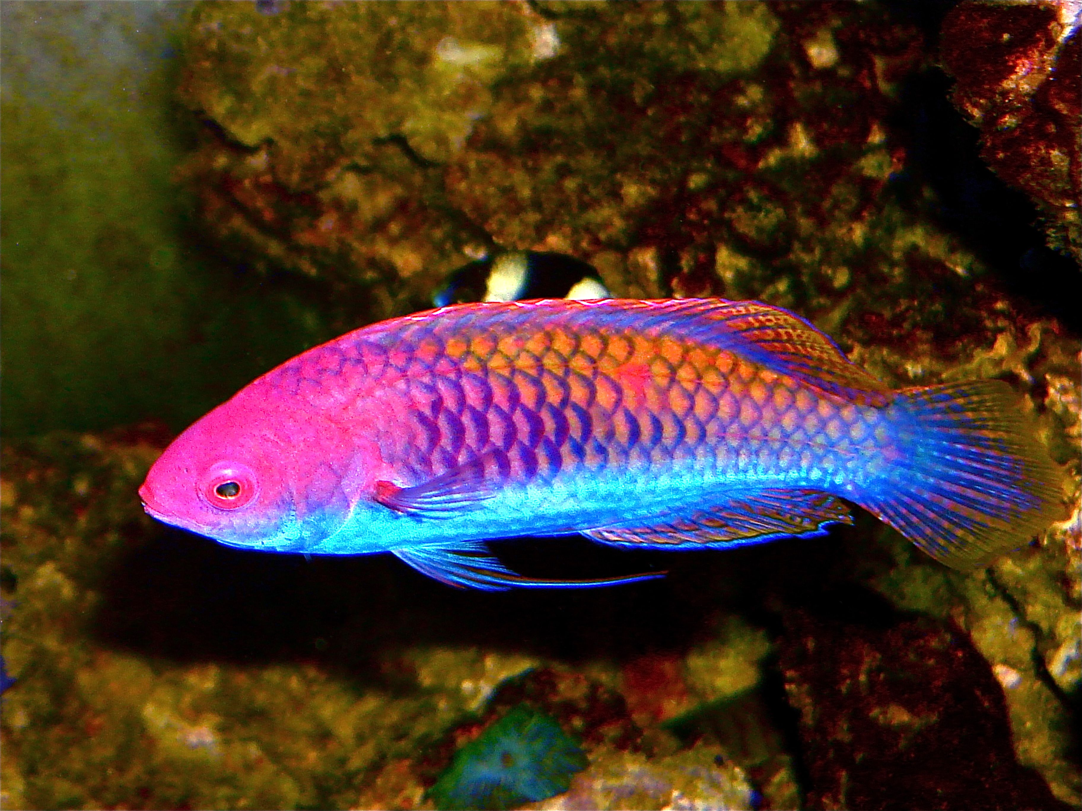 Redhead wrasse 7cm aquarium fish pinterest for Reef tank fish