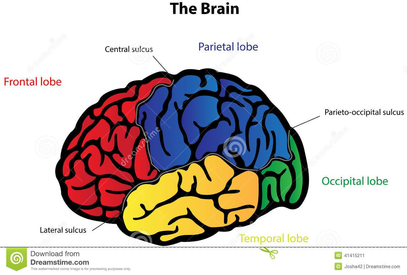 Labeled Pictures Of The Brain | Brain diagram, Human brain ...