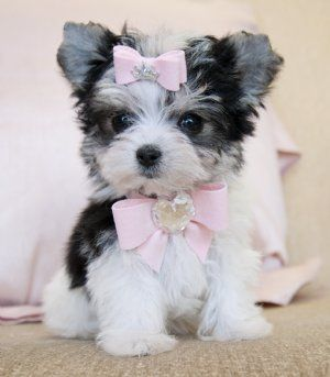 Tiny Teacup Biewer Morkie Princess 16