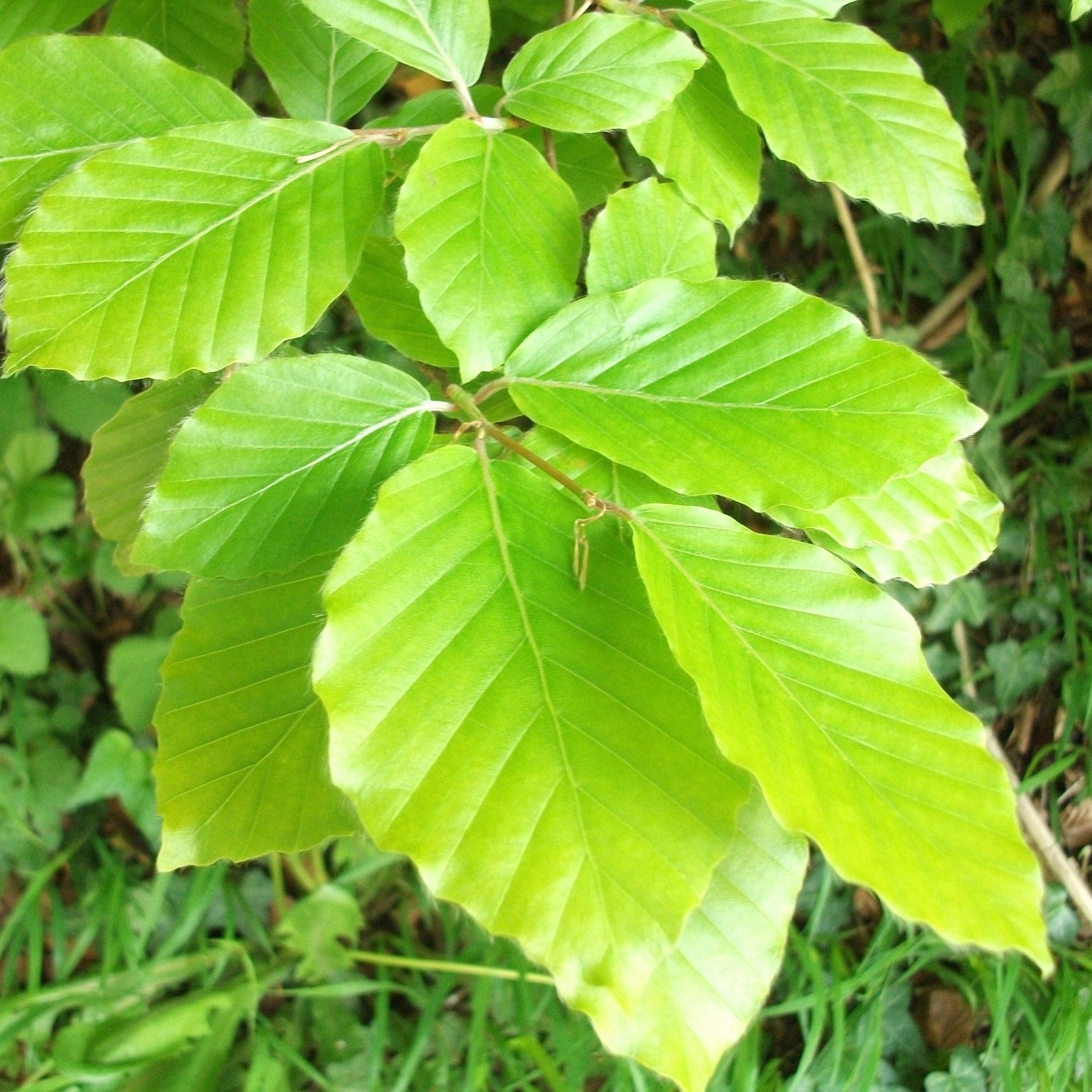 Green Beech Hedging Plants 2 3ft Fagus Sylvatica Grade A Stock Hedging Plants Plant Identification Plants
