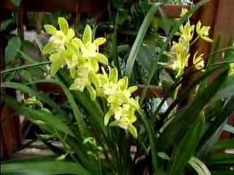 Photo of Cymbidium Orchid Care Made Easy –  Cymbidium Orchid Care Made Easy – YouTube  …