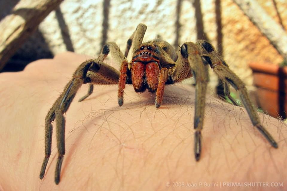 Lycosa Erythrognatha A Red Fanged Wolf Spider Commonly Found In South America