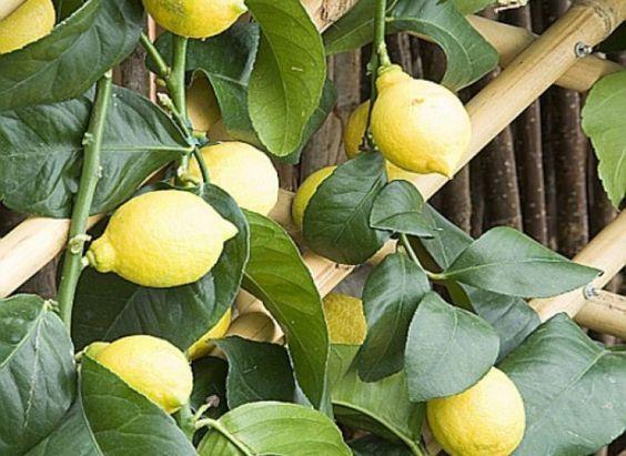 fertiliser le citronnier citron jardin fruitier. Black Bedroom Furniture Sets. Home Design Ideas