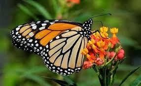 Resultado de imagen para mariposa monarca dibujo volando