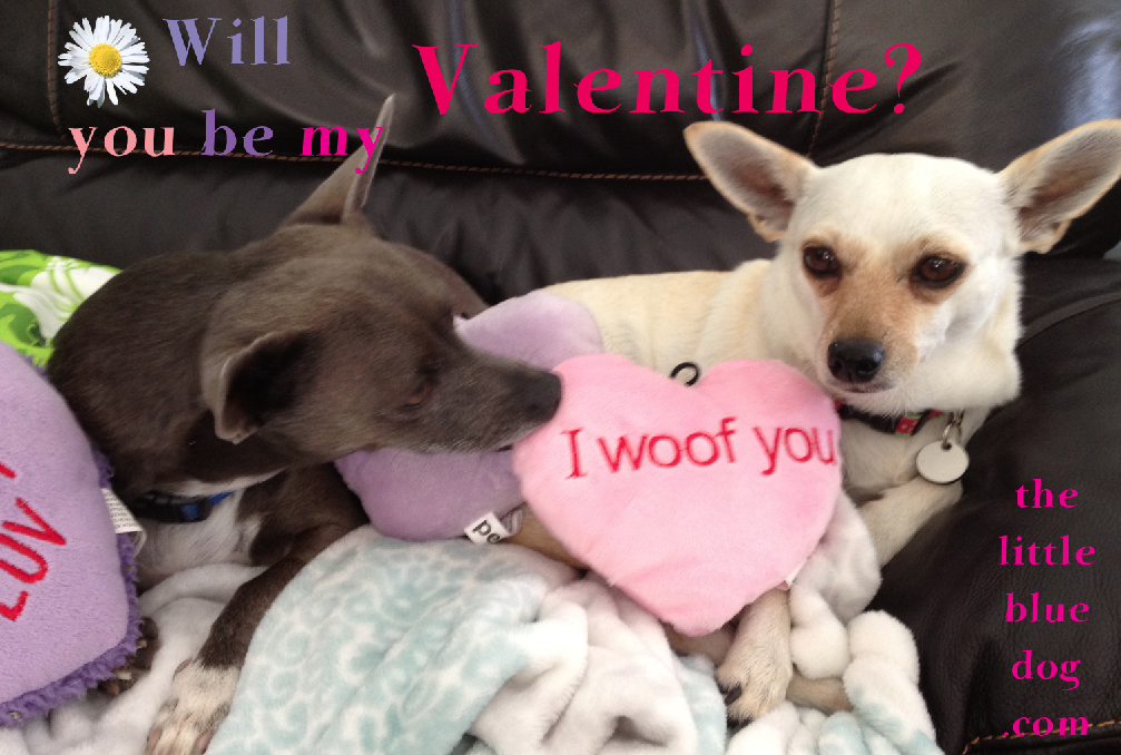 Louie And Ainsley Both Shelter Dogs Now Spoiled Family Members And In Love Chihuahua Love Dogs Blue Dog
