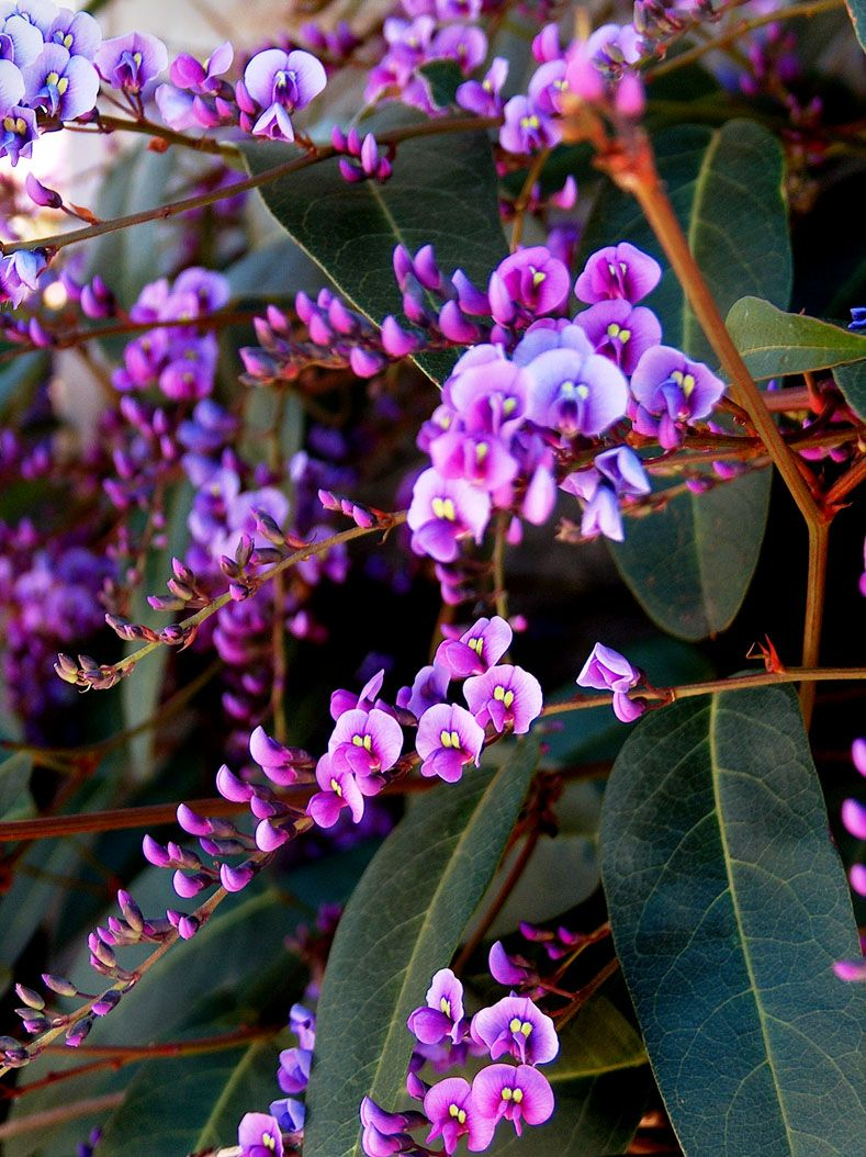 Hardenbergia violacea plant red kangaroo paws in front