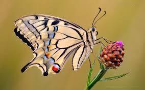 borboleta - Pesquisa do Google