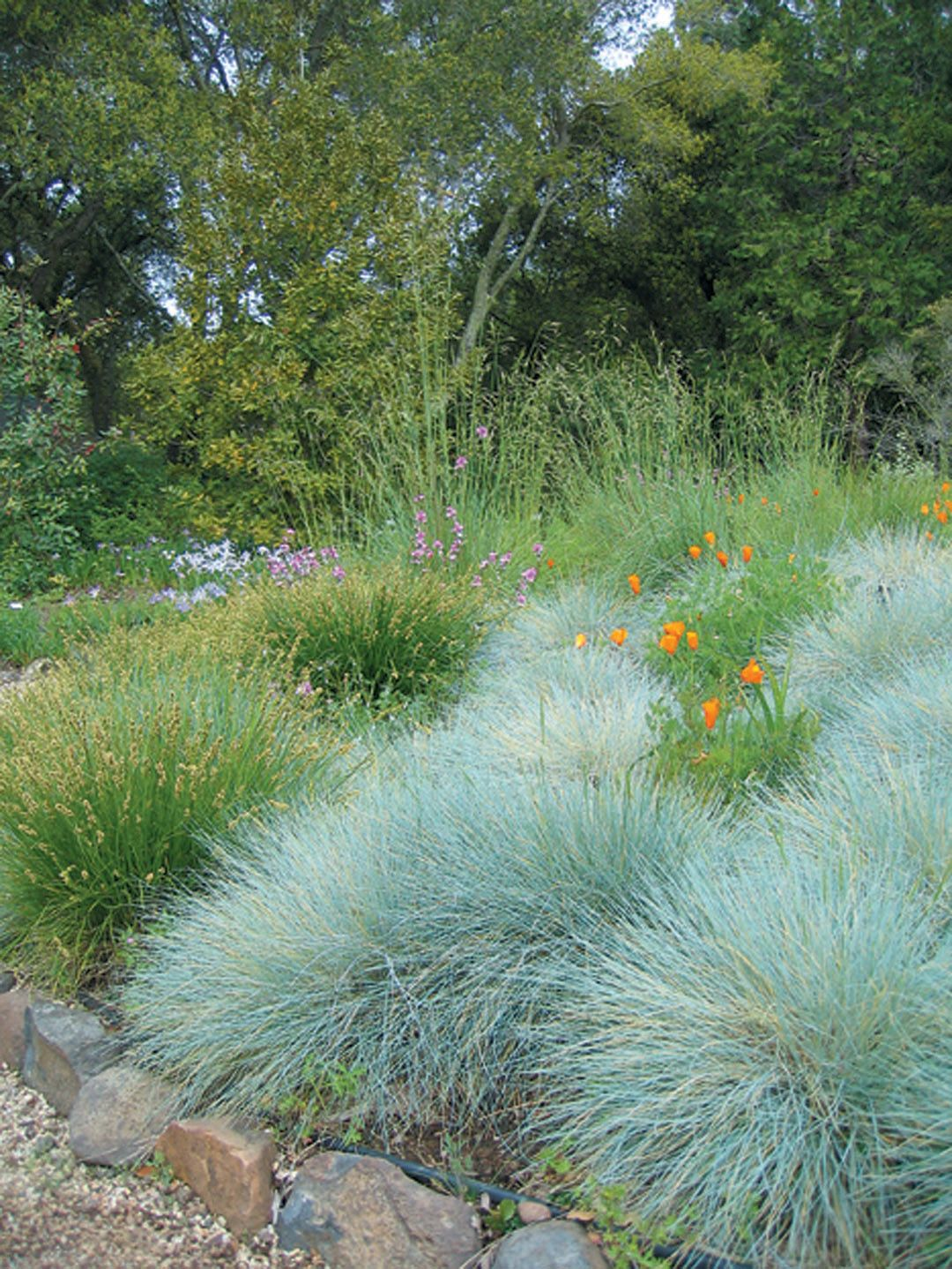 Festuca siskiyou blue water efficient plant material for Ornamental grass with blue flowers