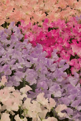 Matthewman Sweet Peas | Remembering you | Growing sweet peas